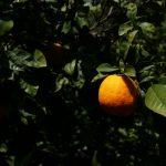 Culture des agrumes à Chios
