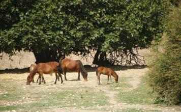 Poneys Chevaux Skyros